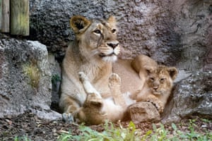 Rome, Italy Asian lion cubs play together next to their mother, in their enclosure at the Bioparco zoo.