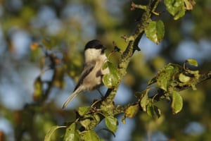 A rare sighting of a willow tit in England.
