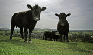 Pedigree Aberdeen Angus are seen on Pyegreave Farm, Langley, Cheshire, in 2006