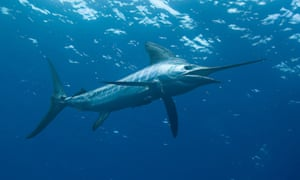 A striped marlin swims in the ocean