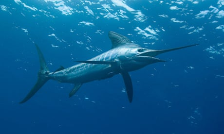 Marlin jumps into boat, seriously injuring two men off NSW north coast