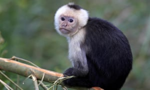 The monkey involved in the attack may have been one of the capuchin monkeys used to play 'Jack the monkey'.