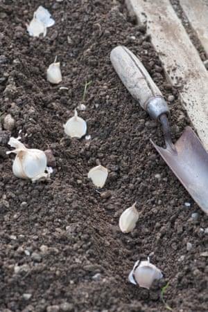 Sowing garlic.