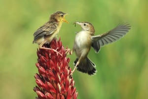 A Zitting cisticola or streaked fantail warbler feeds its young in West Sumatra, Indonesia