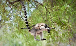 A ring-tailed lemur (Lemur catta) leaping through the canopy carrying an infant in Tsimanampetsotsa national park, Madagascar