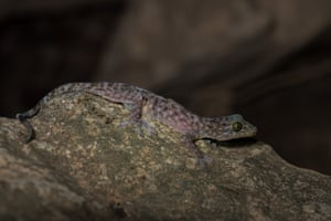 Gekko bonkowski was discovered in the remote karst mountains of Laos by a team of scientists who often had to rely on water dripping off stalactites in caves. It is believed the discovery of the gekko may hold the key to understanding lizard evolution in Laos's Annamite mountain range.