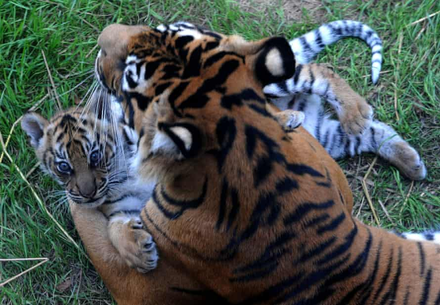Melati with one of her cubs at London Zoo