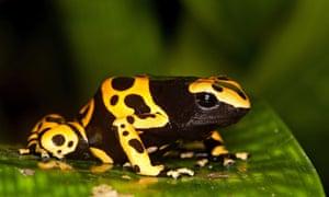 Yellow-banded dart frog (Dendrobates leucomelas)