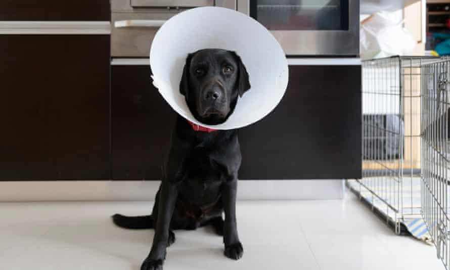 A pet labrador after treatment at a veterinary surgery.