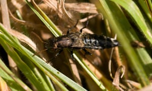 A rove beetle on grass