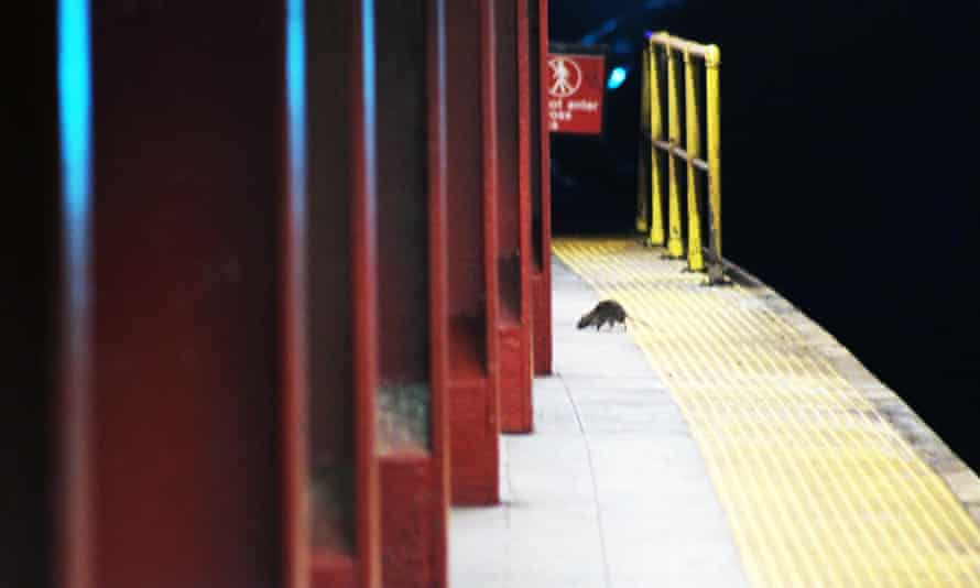 A rat roams a New York subway platform.