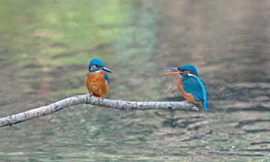 Male and female kingfishers courting
