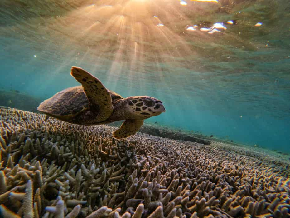 A turtle swims among the coral off Lady Elliot Island on Australia's Great Barrier Reef