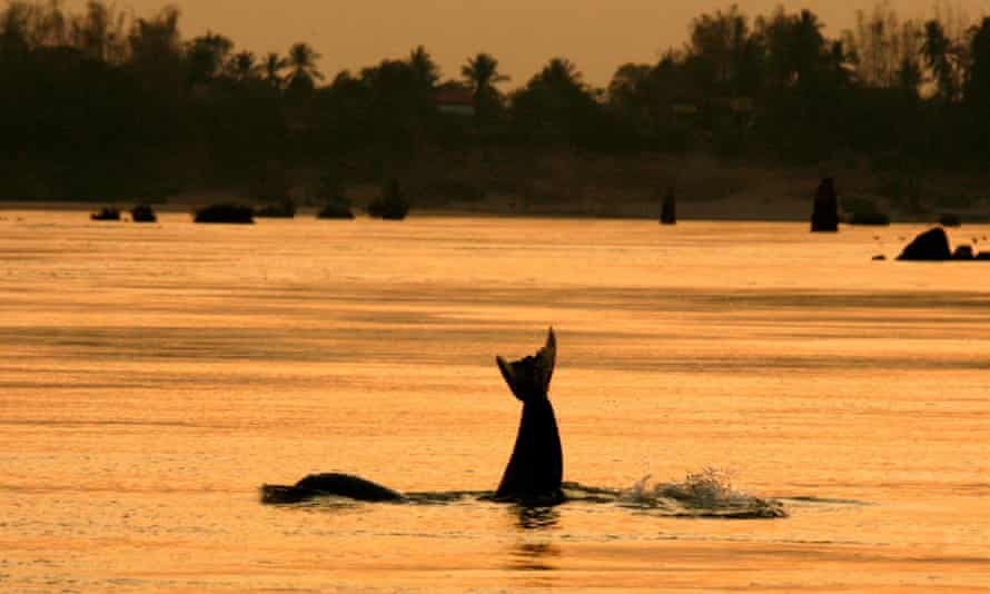 An Irrawaddy dolphin, also known as the Mekong dolphin, in a river in Cambodia.