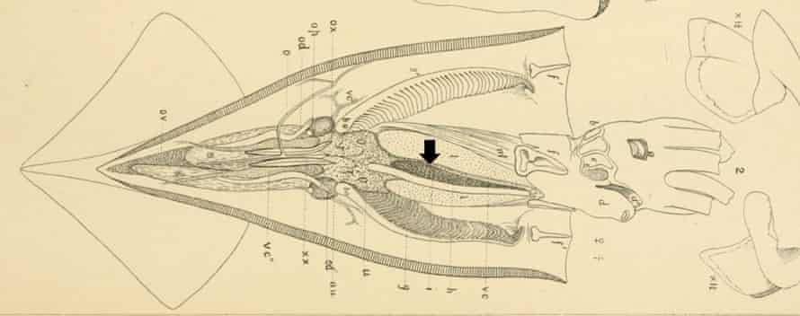Diagram showing dissection of northern shortfin squid, Illex illecebrosus. Black arrow shows location on ink sac. Modified from Verrill 1880.