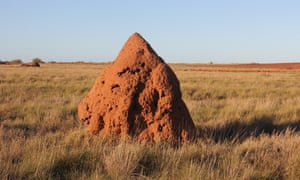 158 termite mounds were destroyed during the clearing of the Wheatstone LNG plant site. Each mound is a mini-ecosystem, and ecologists removed all vertebrate animals found inside and relocated them to similar habitats in the surrounding area.