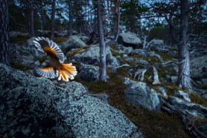 Fritz Pölking junior prize: Blaze of Colours. A portfolio about the Siberian jay in the deepest forests of Lapland