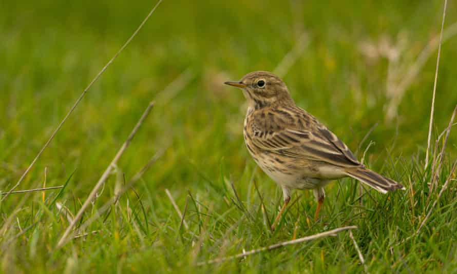 A meadow pipit.
