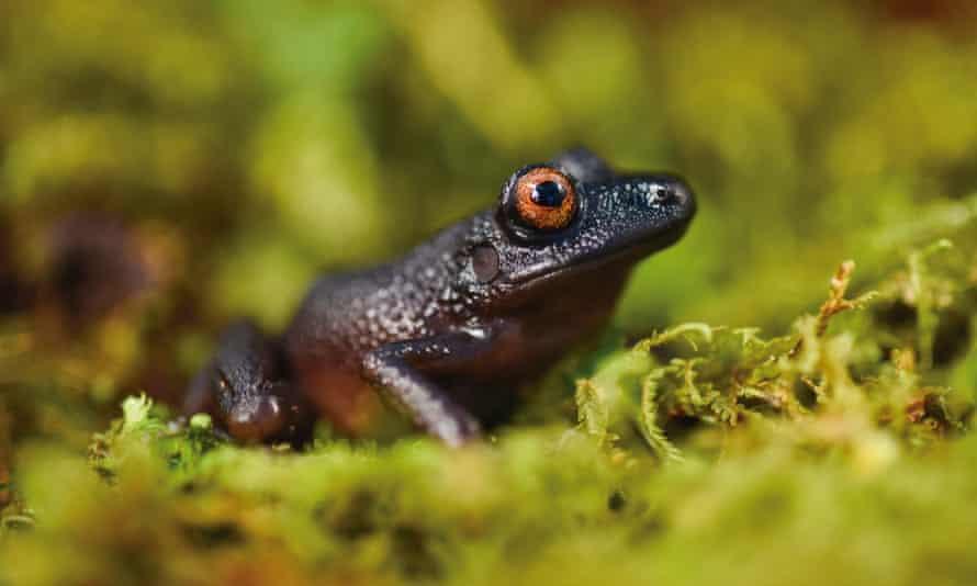 The devil-eyed frog (Oreobates zongoensis)