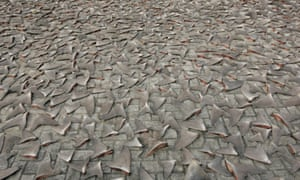 Shark fins drying in the afternoon sun in Hong Kong.