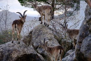 Wild ibex on the slopes of Comares, Malaga in the Axarquia region of Andalucia in Spain