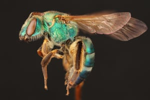 A female sweat bee