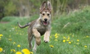 American Kennel Club adds three new dog breeds to registry