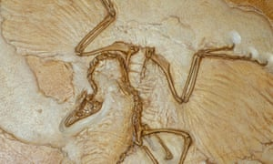 Cast of the Berlin Archaeopteryx American Museum of Natural History, New York, United States of America.