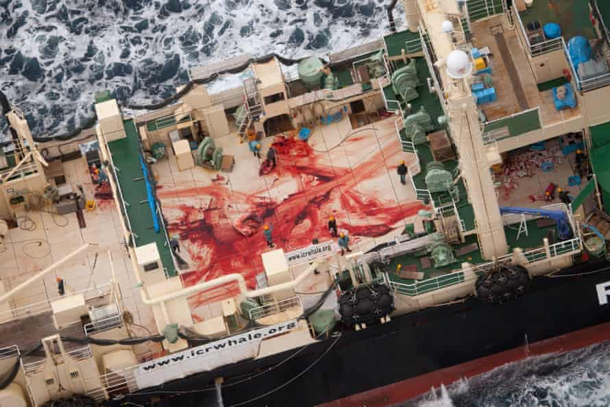 A picture taken by anti-whaling group Sea Shepherd shows the bloodied deck of a Japanese ship, the Nisshin Maru, near Antarctica.