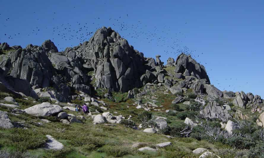 At the end of summer, hundreds of thousands of Arabuls (little ravens) flock to the high country and feast on bogong moths.