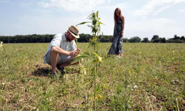 UK hemp farmers 'devastated' after being forced to destroy crop