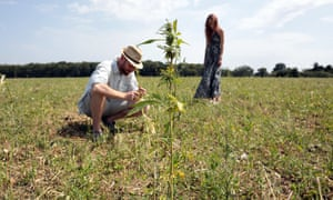 UK hemp farmers 'devastated' after being forced to destroy