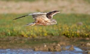 A marsh harrier