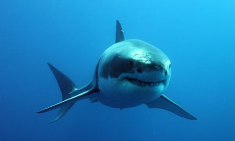 orcas vs great white sharks in a battle of the apex predators who