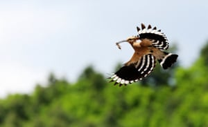A hoopoe, or Upupa epop, carries an insect in Yichun, China.