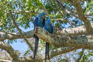 Hyacinth macaws are striking cobalt blue. The largest of the macaws is categorised as vulnerable on the IUCN red list due to its exploitation for the pet trade.