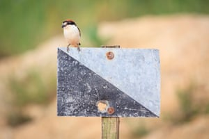 A female woodchat shrike perched on hunting area signpost in Lleida province, Catalonia