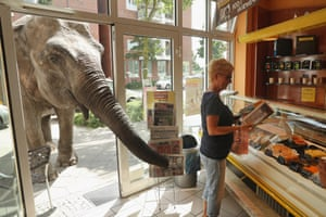 Maja, a 40-year-old elephant, extends her trunk into a Berlin bakery. Maja performs at Circus Busch and her keepers take her on walks to nearby apartment buildings where she likes to eat the grass