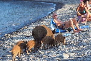 A wild boar and her piglets arrive on a beach to cool off in sea water while people sunbathe in Cerbère, south-west France