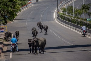 A herd of buffalo walk along an empty highway in New Delhi, India, on 8 April.