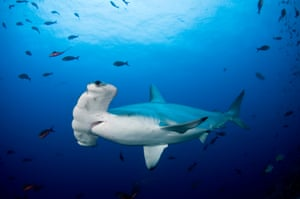 A scalloped hammerhead shark