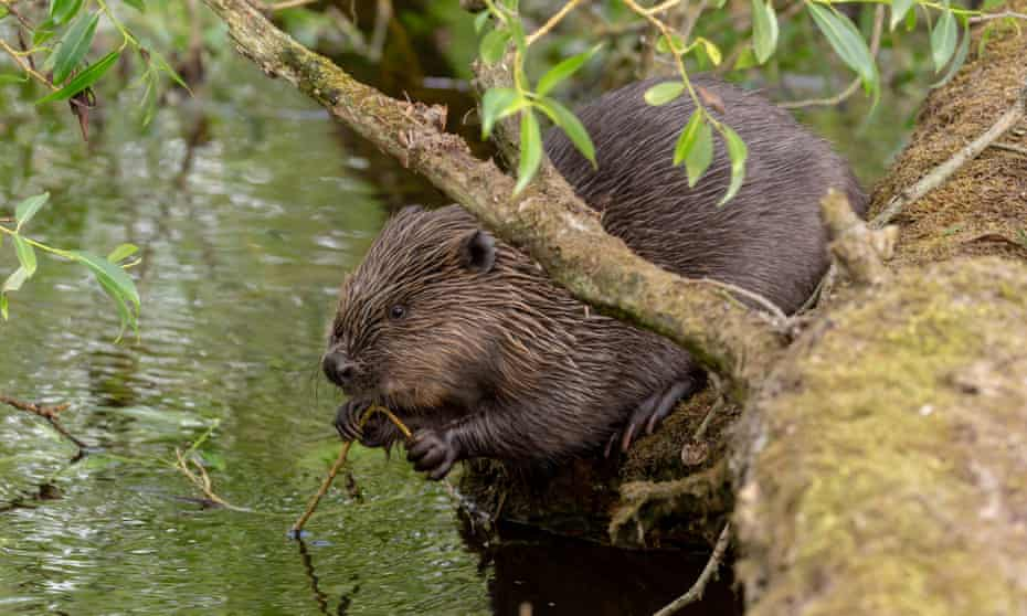 A beaver eating willow on the river Ericht, near Blairgowrie, in Scotland.