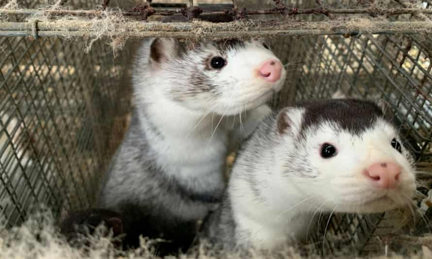 Danish farmers have 10 days to kill their mink herds after Wednesday's ruling.