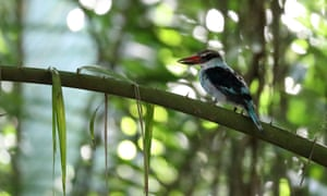Blue-breasted kingfisher in the Príncipe woods