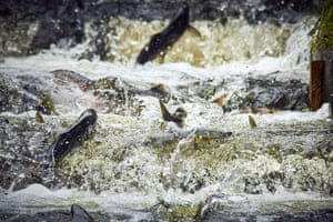 Sitka, US. Pink and chum salmon fill the Sheldon Jackson Hatchery fish ladder at the Sitka Sound Science Center in Alaska. As many as 80,000 chum and 200,000 pinks may return to the hatchery this fall