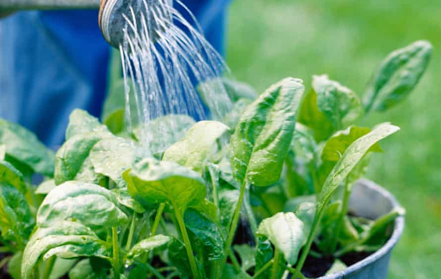Watering bucket of spinach