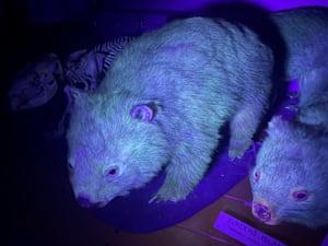 Bare-nosed wombats glistening under ultraviolet light.