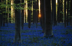 The sun begins to rise through trees as bluebells bloom in the Hallerbos forest in Halle, Belgium