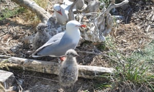 Red-billed seagulls settle into their new home on Auckland waterfront.