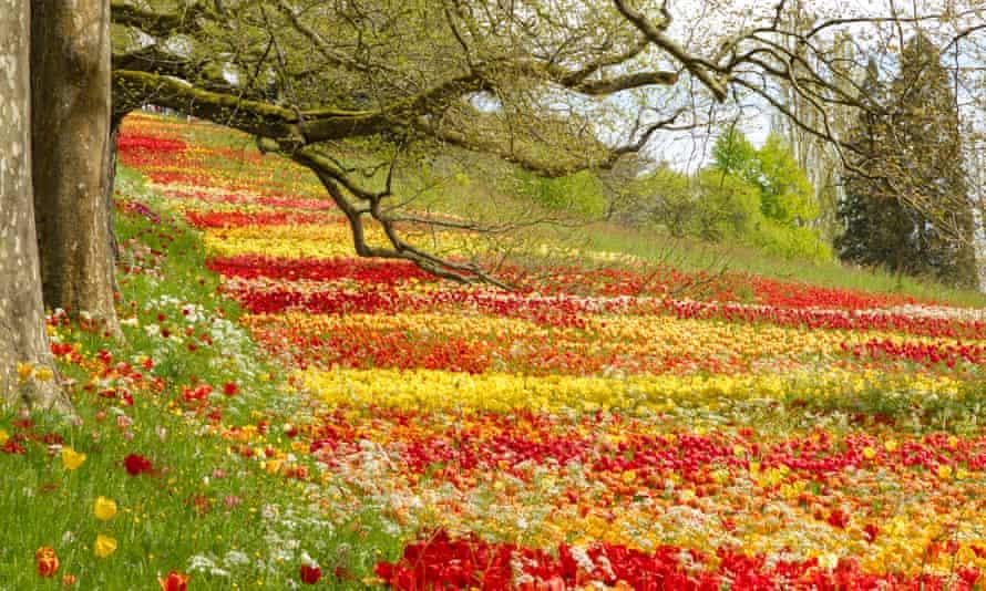 A meadow of blooming tulips on Mainau island, Lake Constance.